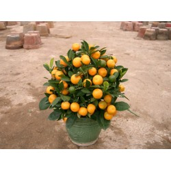 Chinese New Year plants (Mini Size)